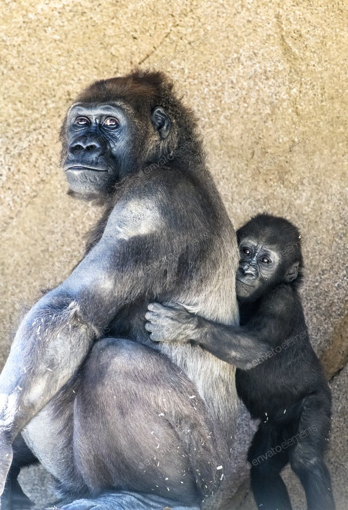 Authoritative Mother Gorilla and offspring