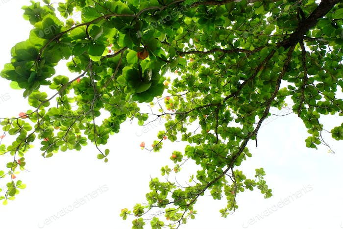 Isolate green leaves and branch