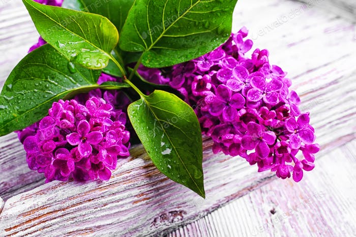 Branch with spring lilac