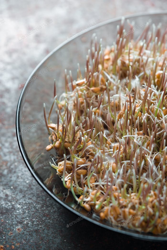 Grain sprouted wheat closeup, healthy food