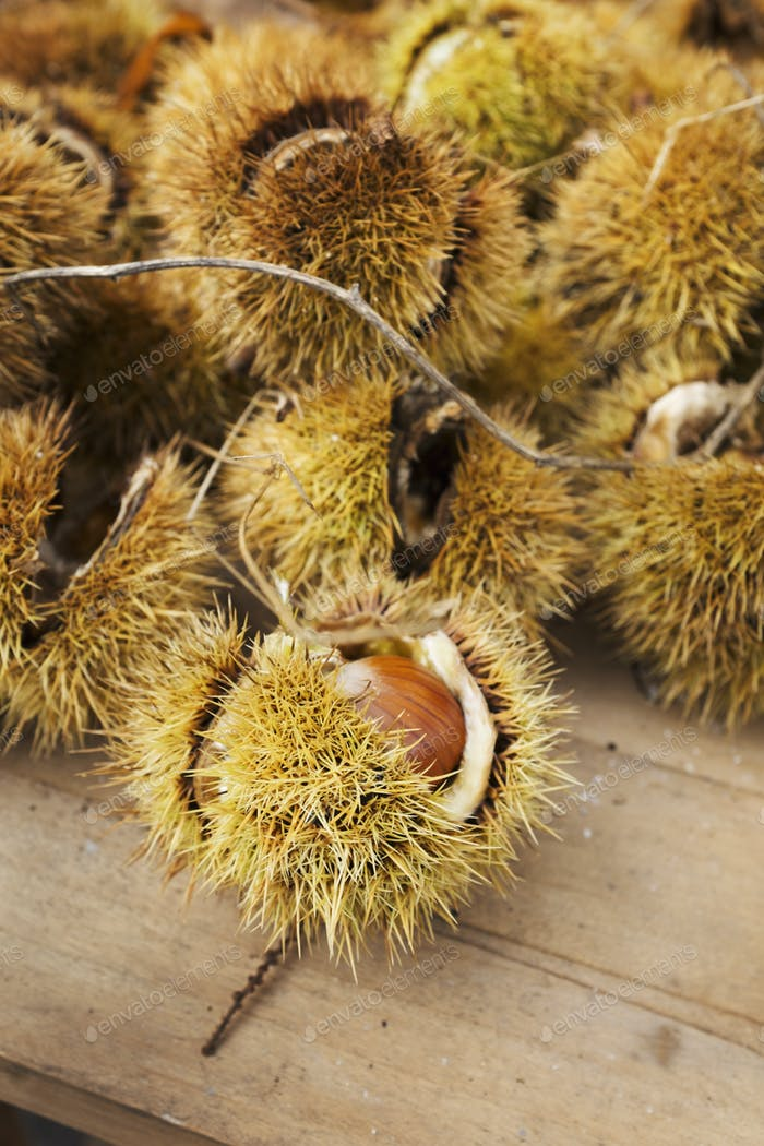 A heap of fresh sweet chestnuts for roasting. Spiny pods.