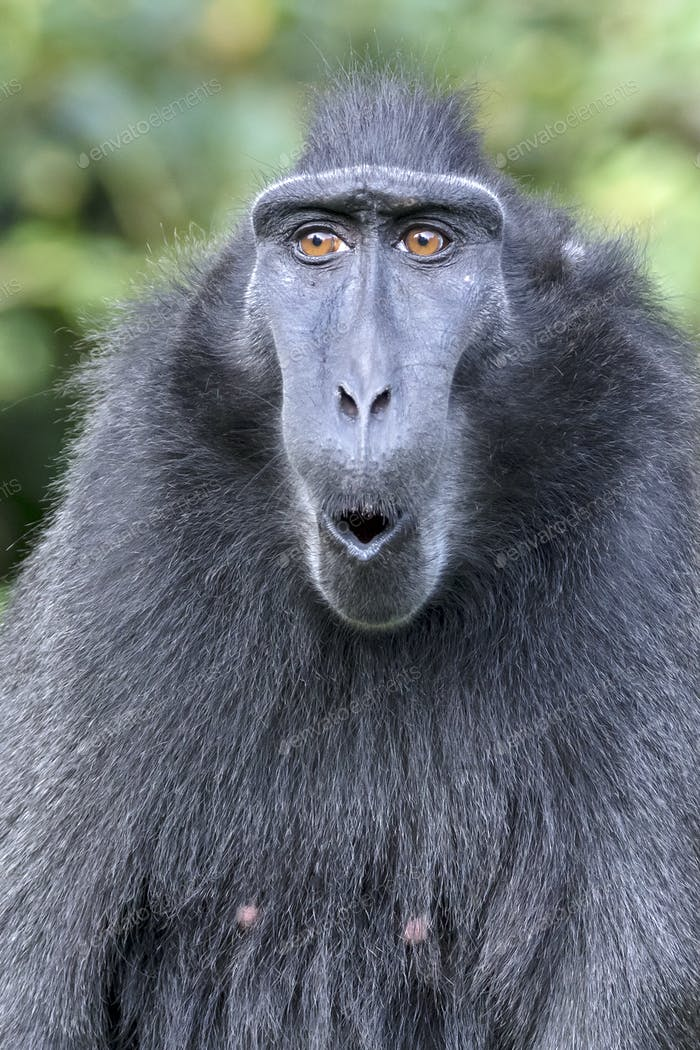 close-up of a crested macaque monkey, wild animal