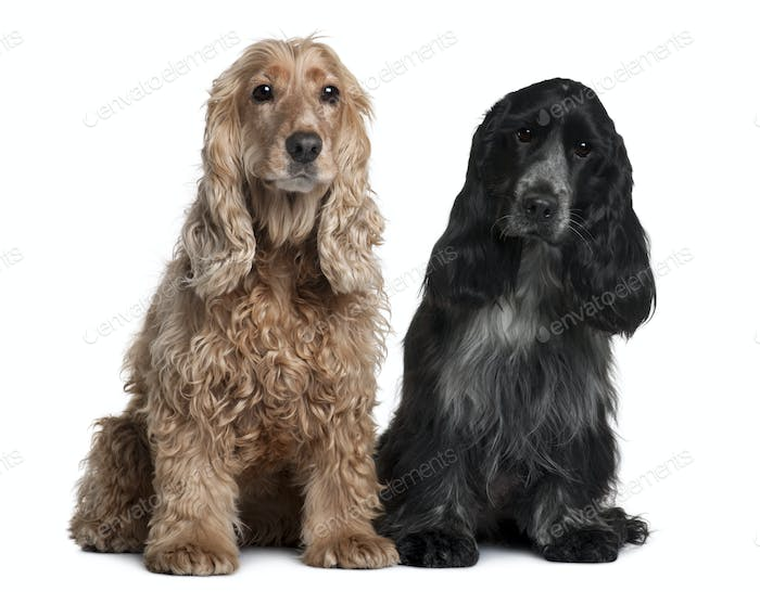 Two English Cocker Spaniels, 8 months and 1 year old, sitting in front of white background