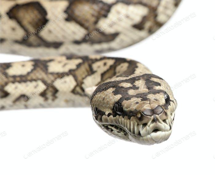 carpet python - Morelia spilota variegata