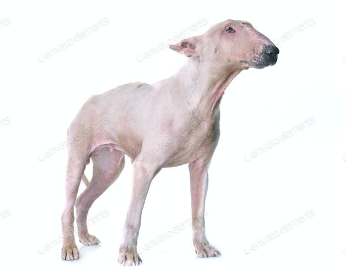 thin bull terrier