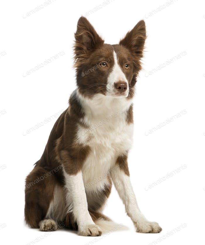Border Collie sitting, 7 months old, isolated on white