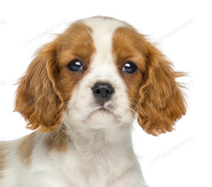 Close-up of a Cavalier King Charles Puppy, 2 months old, isolated on white