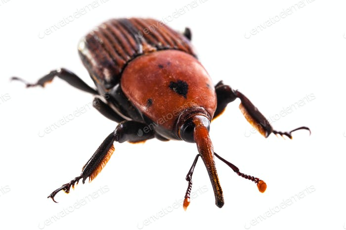 Großer roter Rüsselkäfer