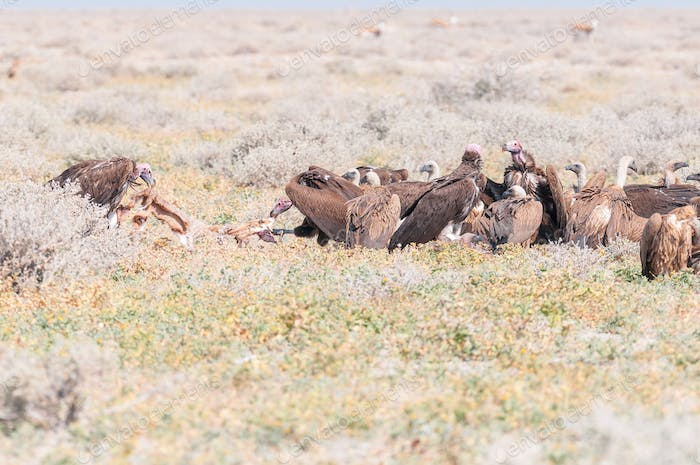 Lappet-faced vultures in tug of war with springbok hide