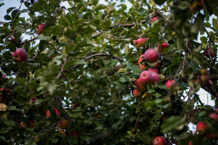 Rote Äpfel blühen in voller Blüte während der Erntezeit
