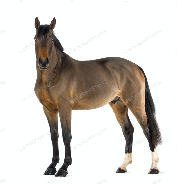 Male Belgian Warmblood, BWP, 3 years old, looking at camera against white background