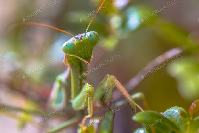 Headshot of European praying mantis