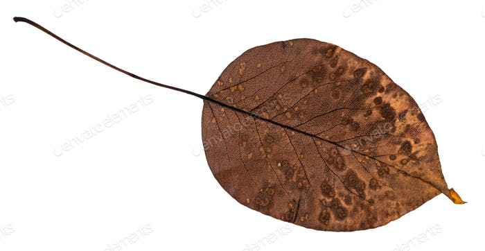 back side of rotten dried leaf of pear tree