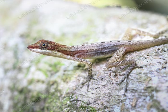 Slender Anole Lizard in Costa Rica