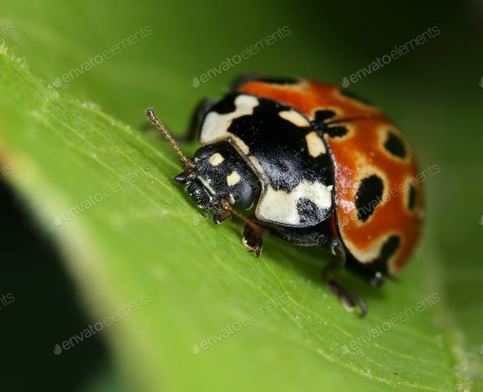Eyed ladybird macro closeup