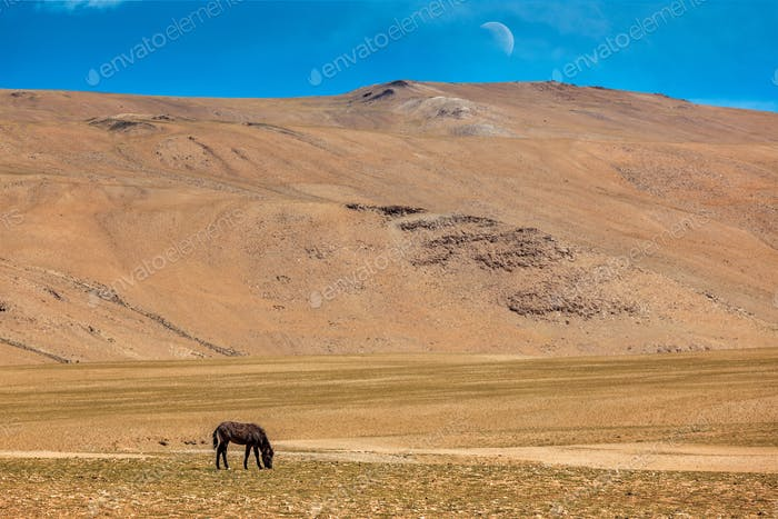 Horse grazing in Himalayas