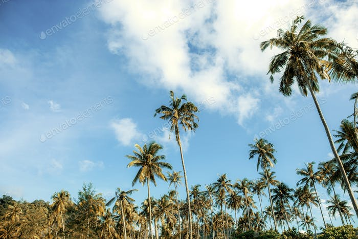 Coconut tree on plantation
