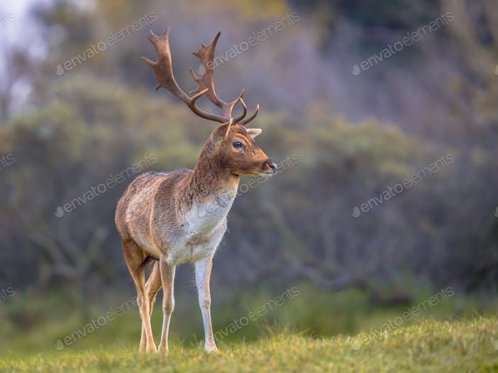 Male Fallow deer looking aside