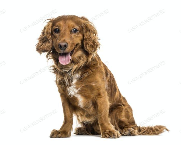 Mixed-breed dog sitting and panting, cut out