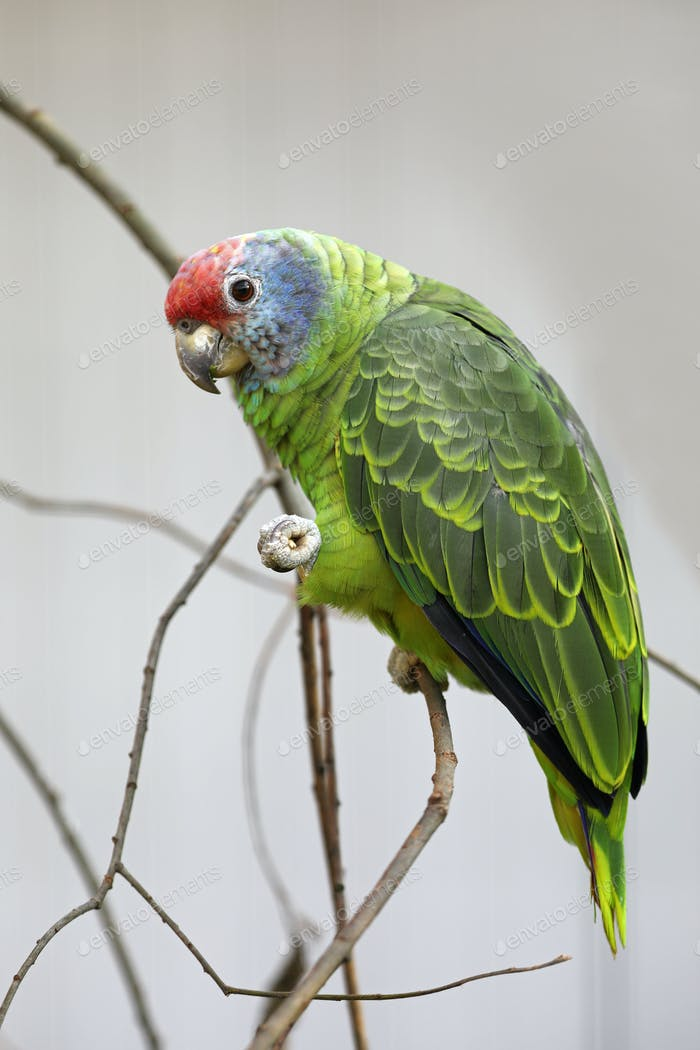 Red tailed amazon parrot in nature