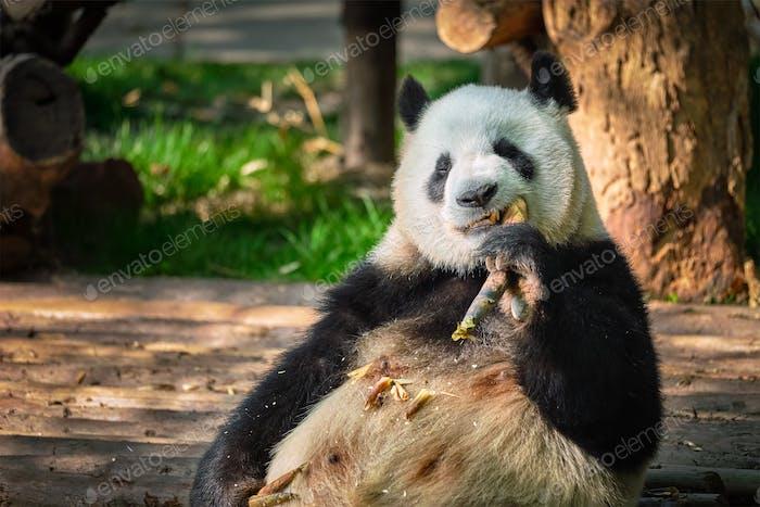 Oso panda gigante en China