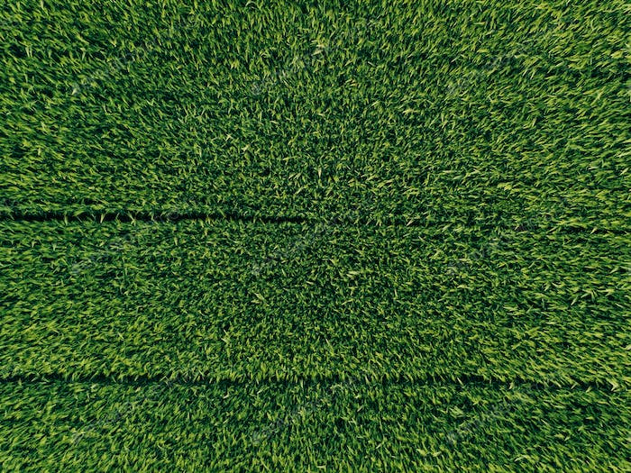 green country field of wheat with row lines, top view, aerial ph