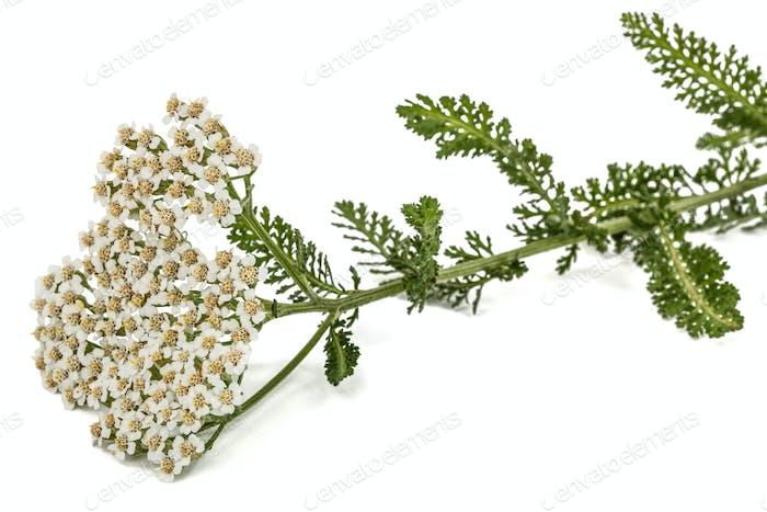 Blüten der Schafgarbe, lat. Achillea millefolium, isoliert auf weiß