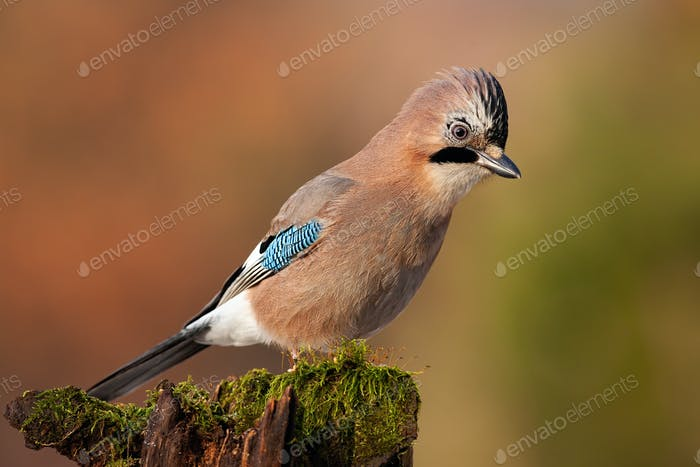 Jay sitting on top of old tree trunk with green moss at sunset