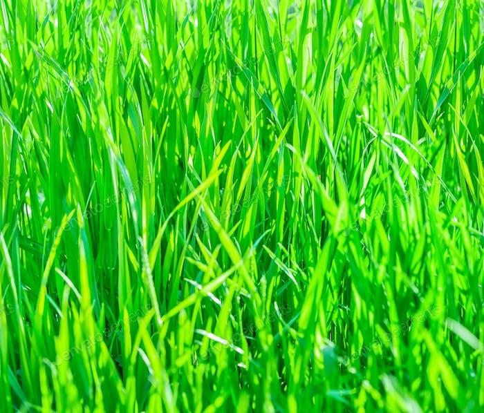 Texture of fresh green grass