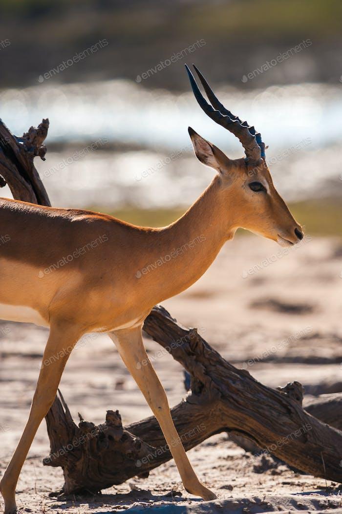 Impala walking