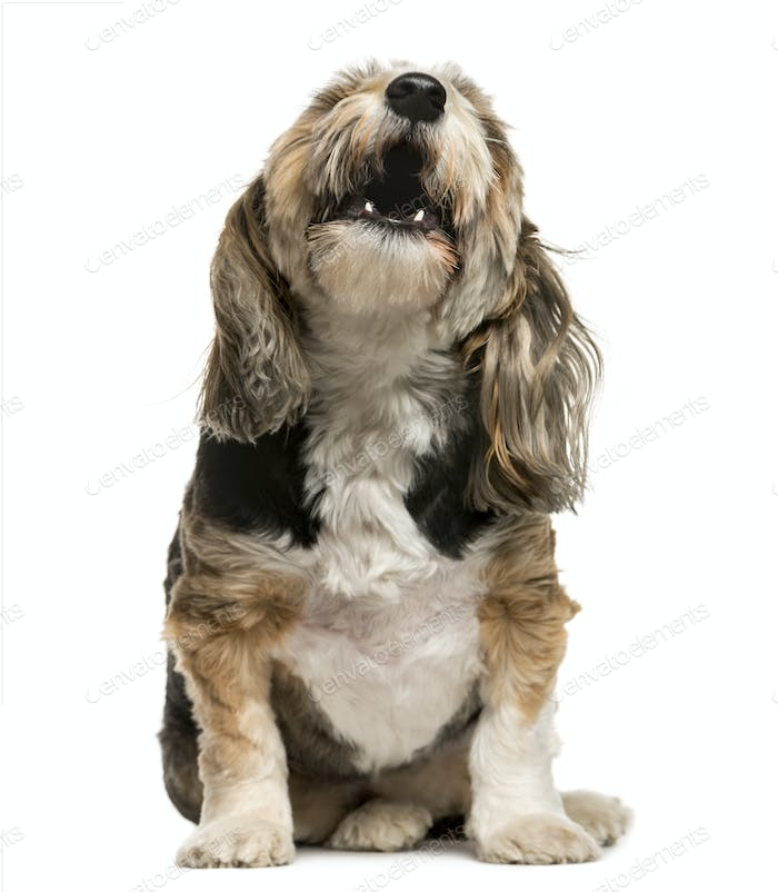 Thumbnail for Crossbreed barking in front of white background