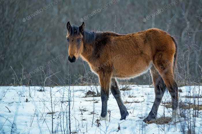 Foal grazing in winter