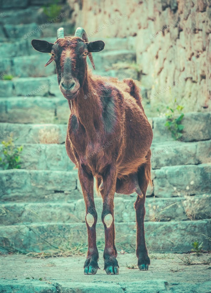 Chèvre sauvage à Majorque
