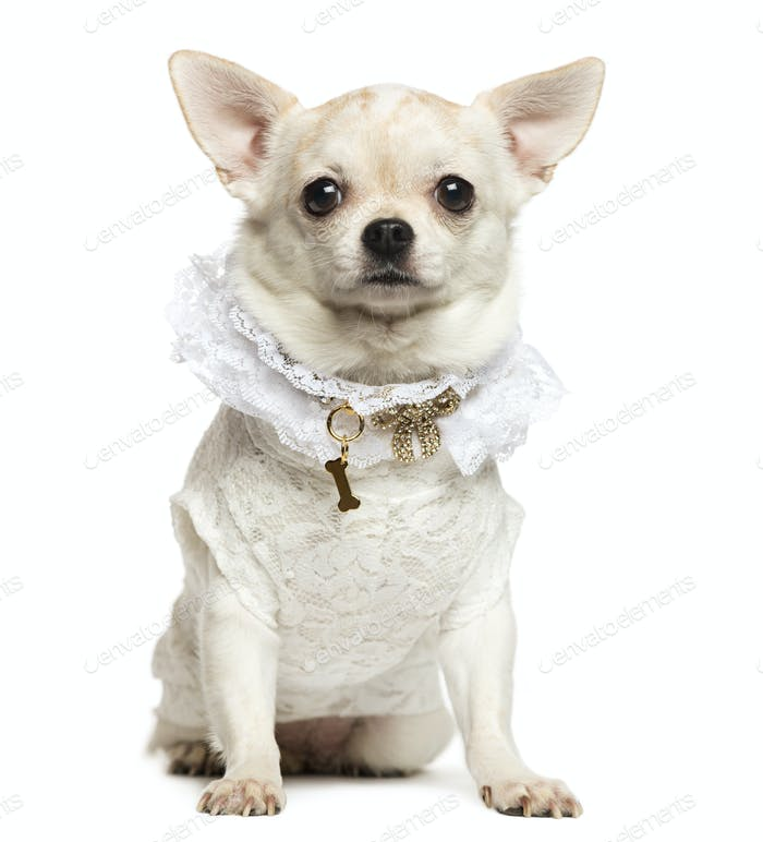 Chihuahua sitting, wearing a lace shirt and fancy dog collar, isolated on white