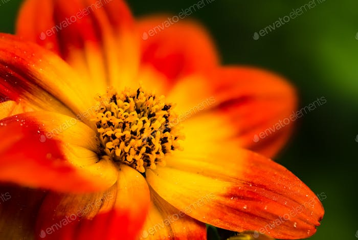 Beautiful orange flower in spring with green natural background