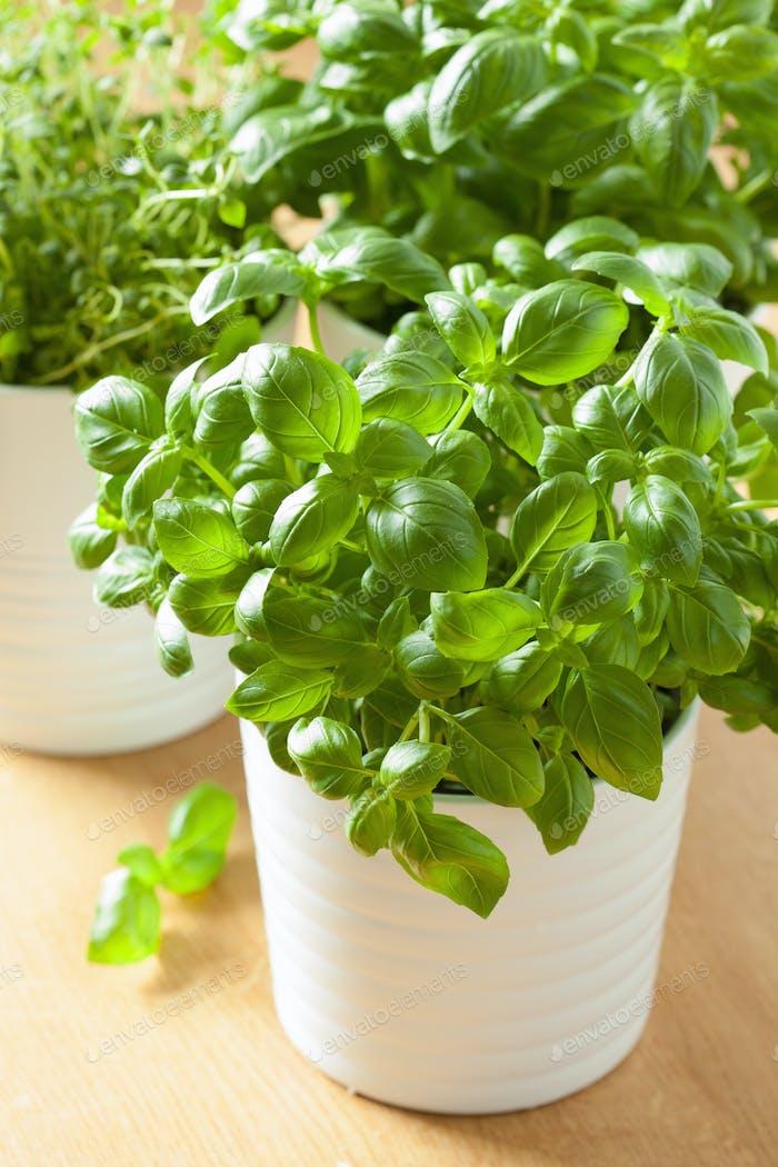 fresh basil thyme herb in a pot