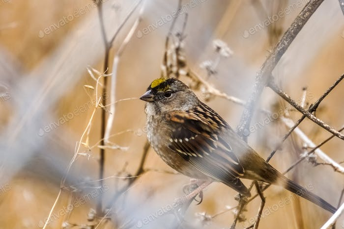Golden Crowned Sparrow Sparrow behind a wire fence