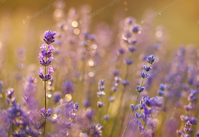 Summer concept - purple lavender flowers