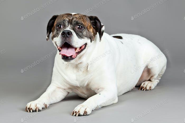 American Bulldog  portrait on a grey background