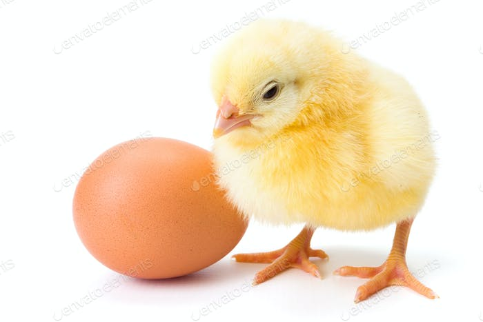 Little newborn yellow chicken with egg