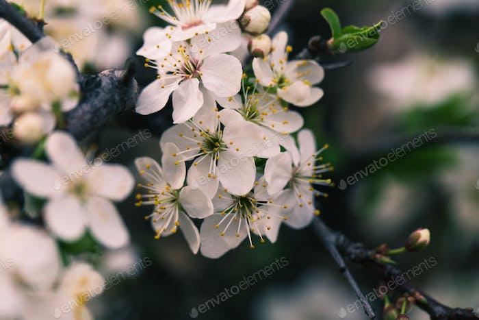 Spring blossom flowers apricot