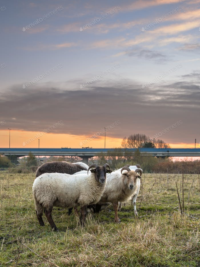 Group of sheep in urban setting under sunset