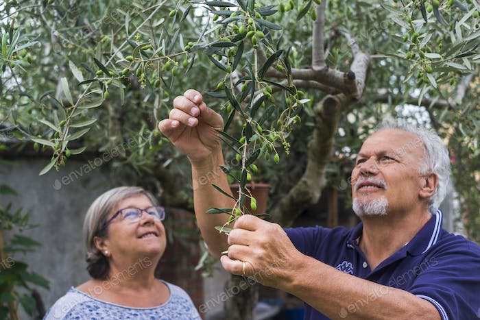 olive tree. elderly senior couple in countryside like home farm work together