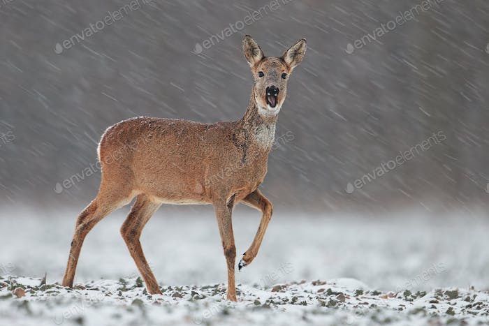 Thumbnail for Roe deer, capreolus capreolus, doe in wintertime during a snowfall