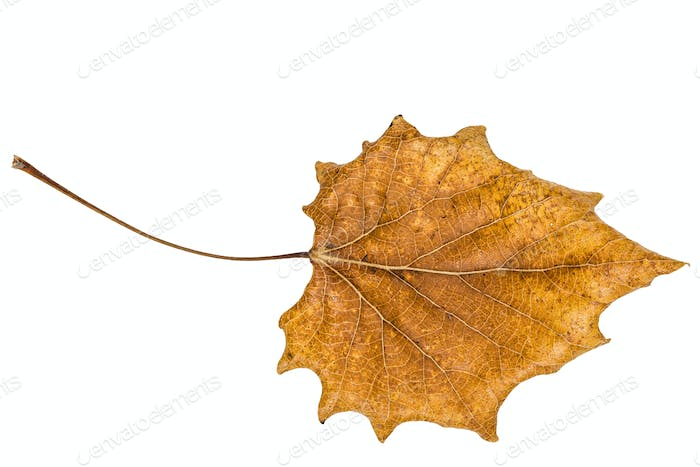Fallen autumn leaf of poplar, isolated on white background