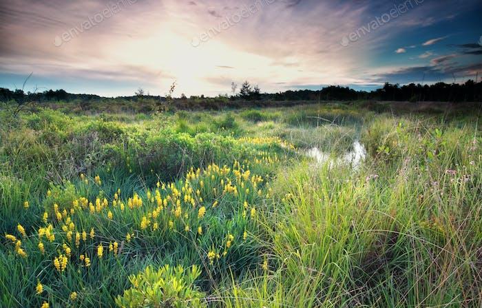 sunrise on wild swamp with bog asphodel bloom