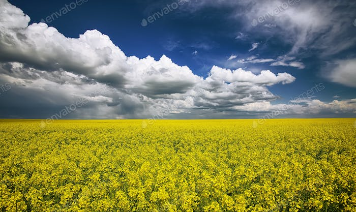 flowering field of colza outdoors in spring
