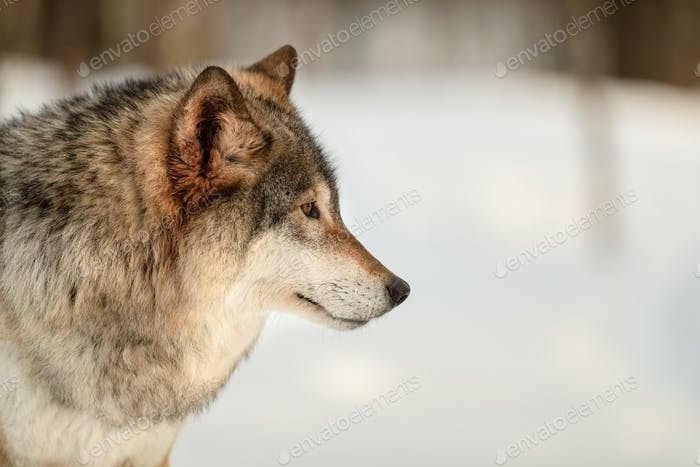 Furry Canis Lupus looking away at Langedrag Nature Park in winter