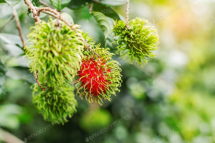 Rambutan growing on trees