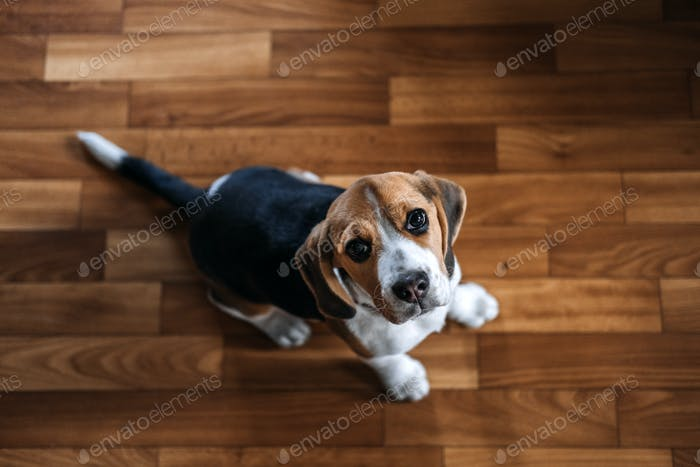 Beagle Personality, temperament. Beagle Puppy at home. Little Beagle breed dog at his new home